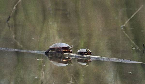 Turtle Art Print featuring the photograph 070406-68 by Mike Davis