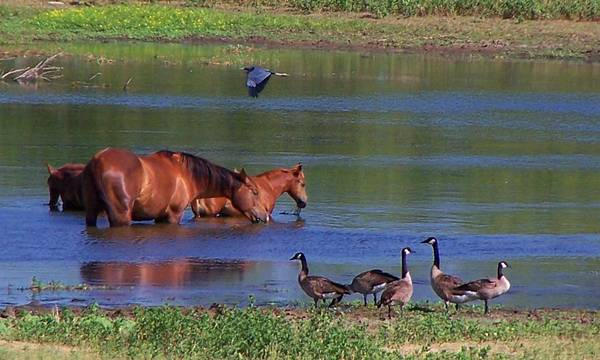Horses Art Print featuring the photograph We are all friends here. by Lilly King
