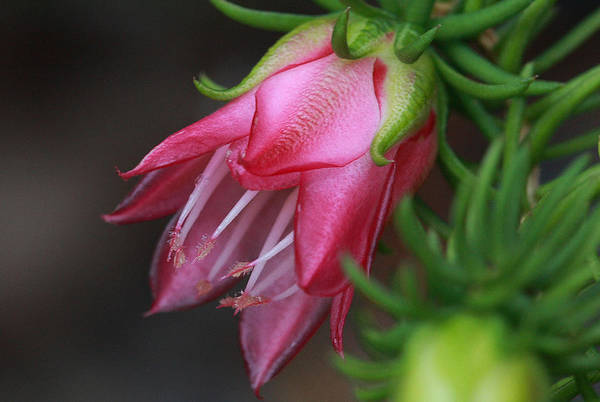 Darwinia oxylepis 3A by Tony Brown