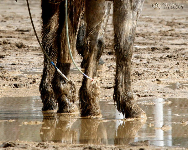 Western Art Print featuring the photograph Muddy Reflections.. by Carol Miller