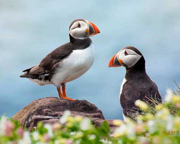 Two Puffins by Mike Dodak