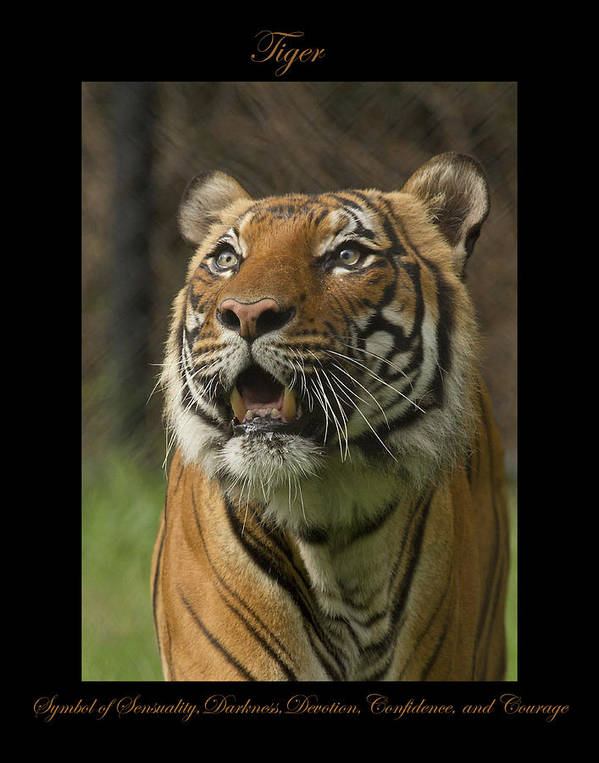Art Print featuring the photograph Tiger Symbol Of by Marty Maynard