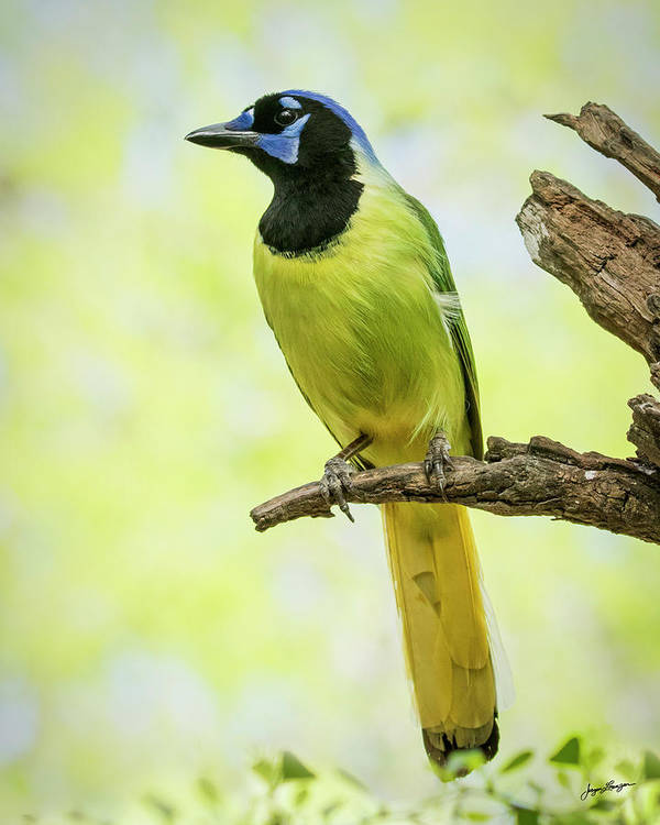 Green Jay by Jurgen Lorenzen