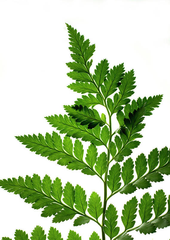 Green Art Print featuring the photograph Fern by Jessica Wakefield