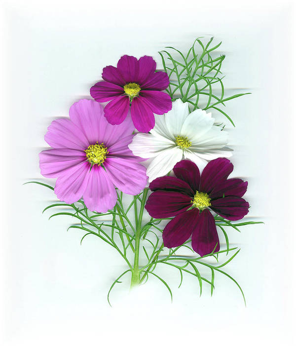 Cosmos Art Print featuring the mixed media Cosmos Bouquet by Sandi F Hutchins