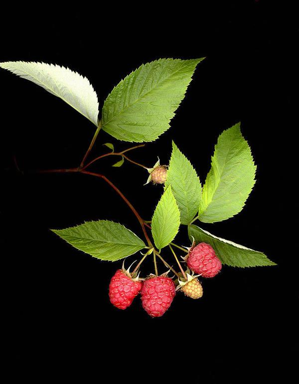 Red Raspberry Art Print featuring the photograph Raspberry by Sandi F Hutchins