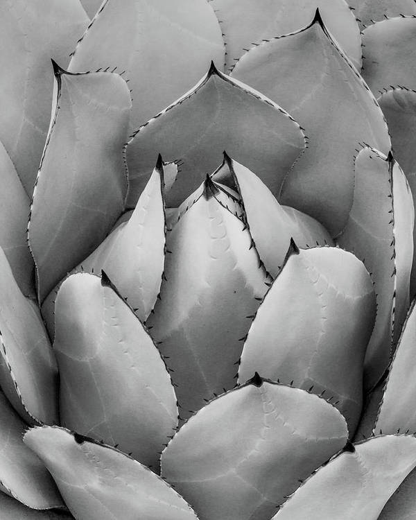 Black And White Agave by Lynn Davis