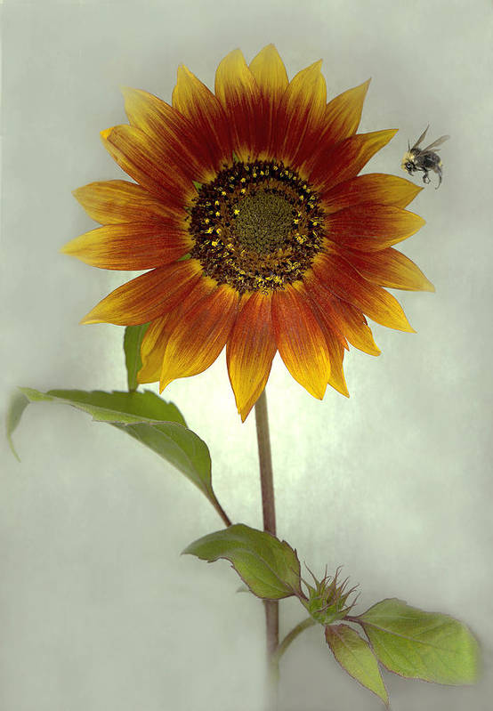 Sunflower Art Print featuring the mixed media Sunflower and Bee by Sandi F Hutchins