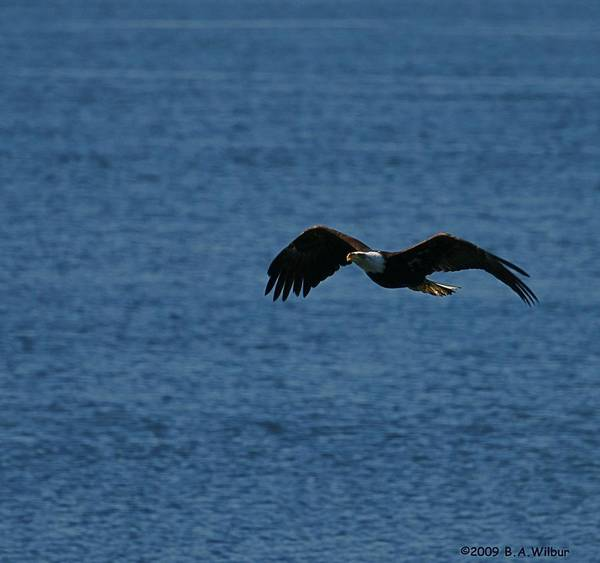Eagle Art Print featuring the photograph Flying Eagle by Bruce Wilbur