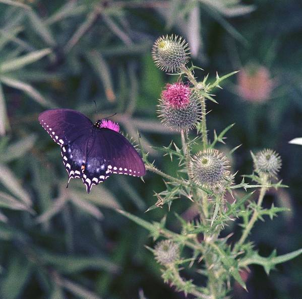 Butterfly Art Print featuring the photograph 060207-13 by Mike Davis