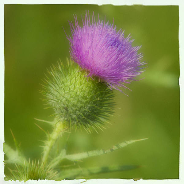 Thistle Art Print featuring the photograph Thistle by Cindy Lindow
