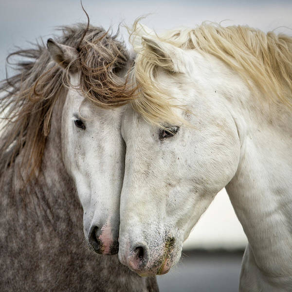 Horses Art Print featuring the photograph Friends V - Colour by Tim Booth