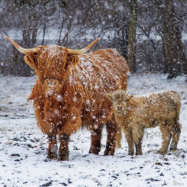 Mother's Love - Scottish Highland cow and calf in snowy pasture by Peter Herman