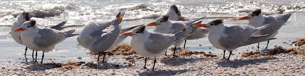Sanibel Art Print featuring the photograph Royal Terns by MJ Cadle