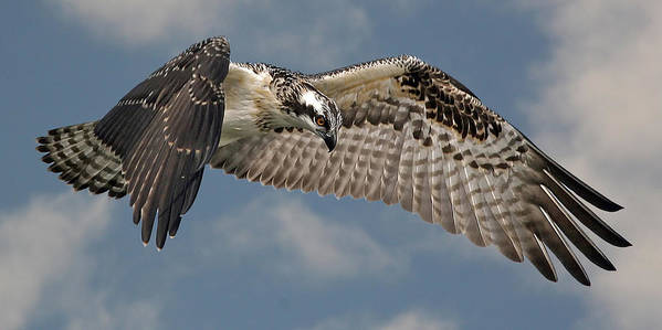 Osprey Art Print featuring the photograph Osprey Flight by Larry Linton