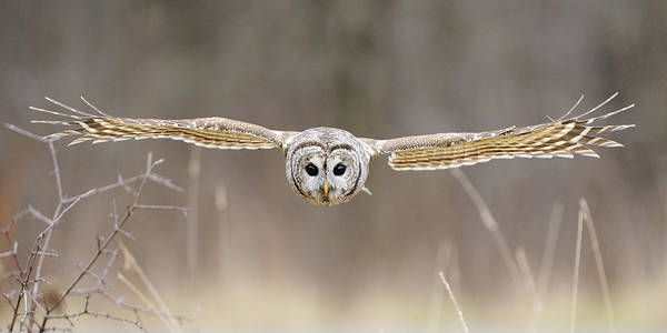 Barred Art Print featuring the photograph Barred Owl In Flight by Scott Linstead