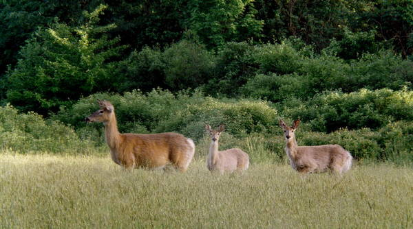 Deer Art Print featuring the photograph 072506-3 Out For A Walk With The Twins by Mike Davis