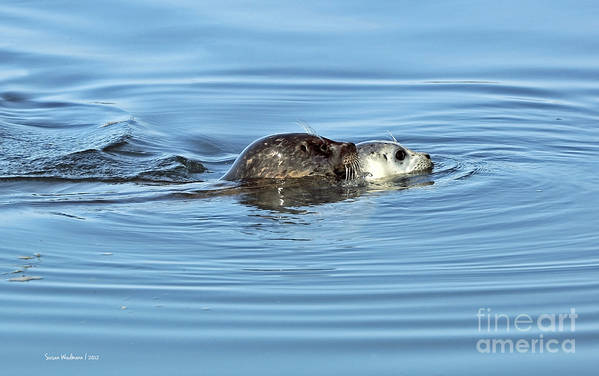 Susan Wiedmann Art Print featuring the photograph Mother Harbor Seal And Pup by Susan Wiedmann