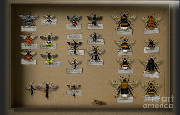 Bumblebees Print featuring the painting Bumblebees - Wild Bees - Wesps - Yellow Jackets - Ichneumon Flies - Apiformes Vespulas Hymenopteras by Urft Valley Art