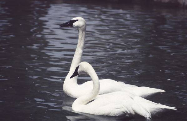 Swan Art Print featuring the photograph 92347-8 by Mike Davis