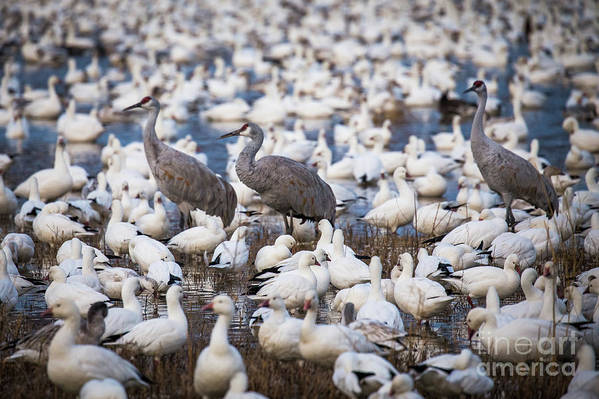 Bosque Del Apache Art Print featuring the photograph Bosque Waterfowl Mix by Randy Jackson