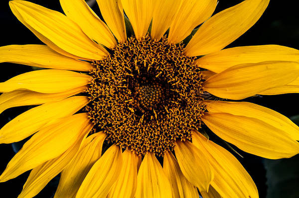 Nature Art Print featuring the photograph Sunflower by Gary Lengyel