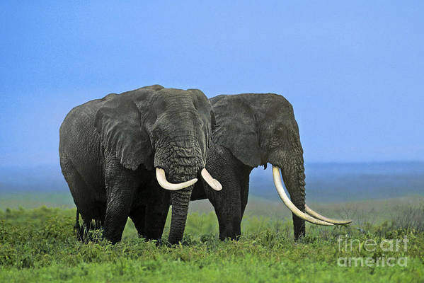 elephant endangerment The africa elephant summit being held in botswana has heard of an alarming drop in numbers due to poaching close skip to main content endangered species.