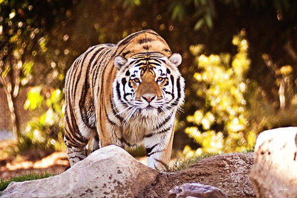 Tiger Art Print featuring the photograph On The Prowl by Scott Pellegrin
