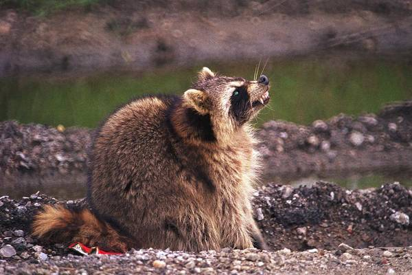 Raccoon Art Print featuring the photograph 070406-67 by Mike Davis