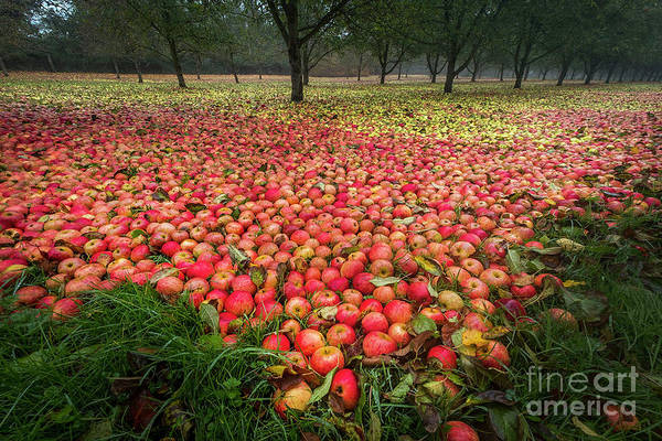 Apple Apples Bulmer Cider Clonmel Art Print featuring the photograph Apples by Sinclair Adair