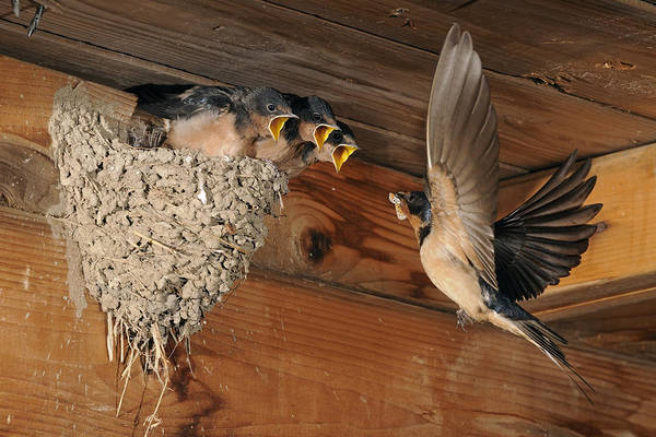 Barn Art Print featuring the photograph Barn Swallows At Nest by Scott Linstead