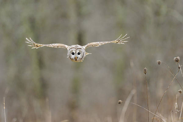 Barred Art Print featuring the photograph Barred Owl In Flight II by Scott Linstead