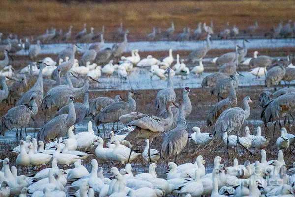 Bosque Del Apache Art Print featuring the photograph Bosque Cranes And Geese by Randy Jackson