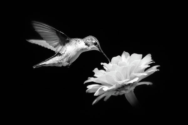 Black and White Hummingbird and Flower by Christina Rollo
