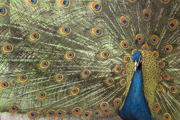 Peacock Art Print featuring the photograph Peacock by Michael Hudson