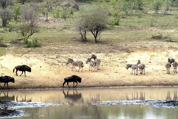 Zebra Art Print featuring the photograph Watering Hole by Charles Ridgway