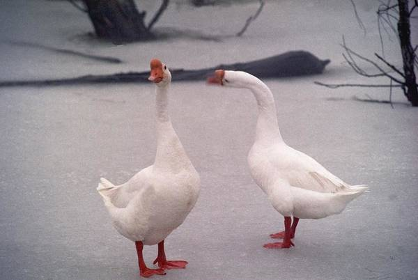 Goose Art Print featuring the photograph Nag Nag Nag  072506-10 by Mike Davis