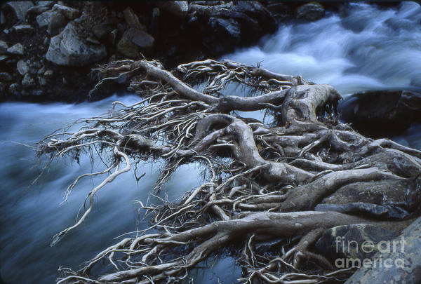 Trees Art Print featuring the photograph Roots Over Ozark Stream by Garry McMichael