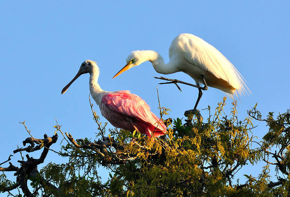 Roseate Spoonbill And Great White Egret Art Print featuring the photograph Spoonbill And Egret by Ernst Schwarz