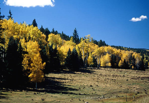 Aspen Art Print featuring the photograph New Mexico Aspen by Troy Montemayor