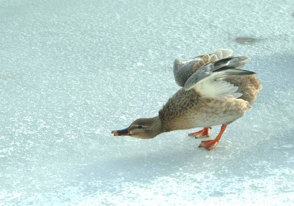 Ducks Art Print featuring the photograph 011209-91  Taking A Bow by Mike Davis