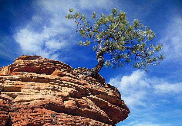 Zion Art Print featuring the photograph Dwarf Pine And Sandstone Zion Utah by Utah Images