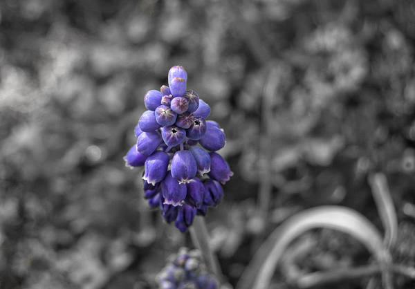 Grape Art Print featuring the photograph Grape Hyacinth by Amber Flowers
