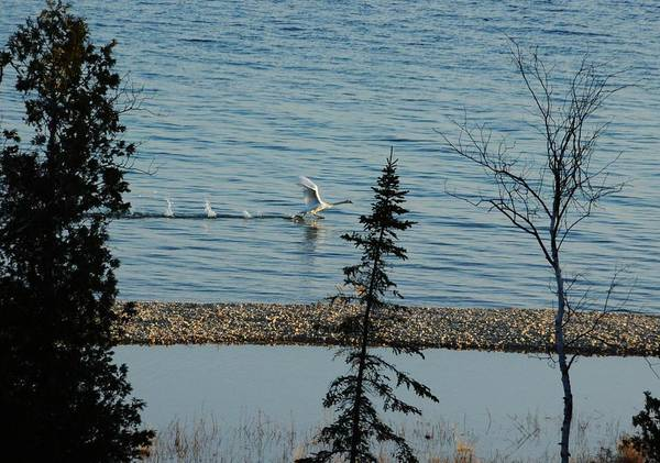 Swans Art Print featuring the photograph I'll Fly Away by G Teysen