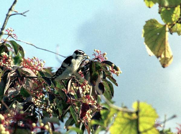 Woodpecker Art Print featuring the photograph 070406-52 by Mike Davis