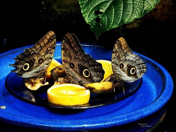 Owl Butterflies Art Print featuring the photograph Owl Butterflies by Suzanne McClain
