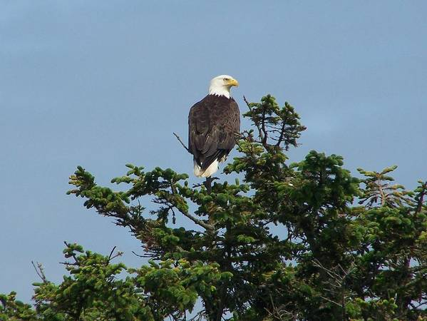 American Art Print featuring the photograph American Eagle by Mark Cheney