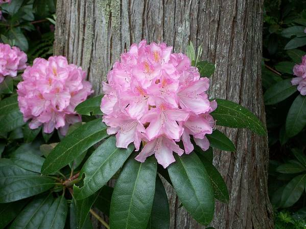 Pink Art Print featuring the photograph Pink Rhodie by Mark Cheney