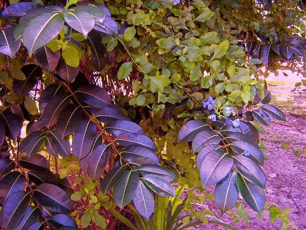 Tropical Plants Art Print featuring the photograph The Blues Of Green by Charles Peck