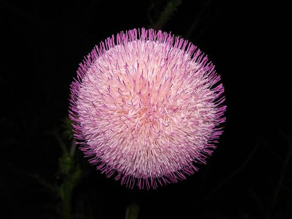 Bloom Art Print featuring the photograph Thistle Bloom At Night by J R Seymour